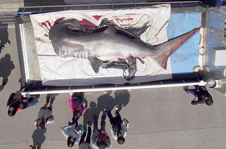 幻のサメが定置網に4.4mのメガマウス静岡・由比漁港ほか今日の #スクラップ #2014 #4/15
